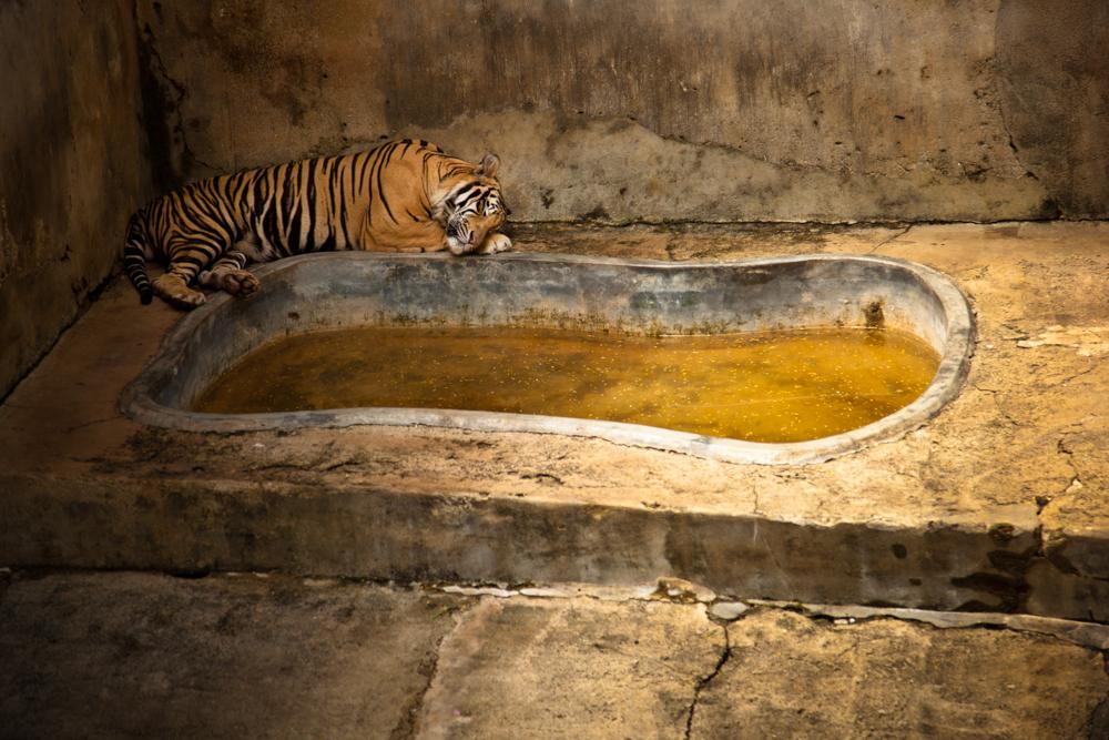 Captive - Tiger