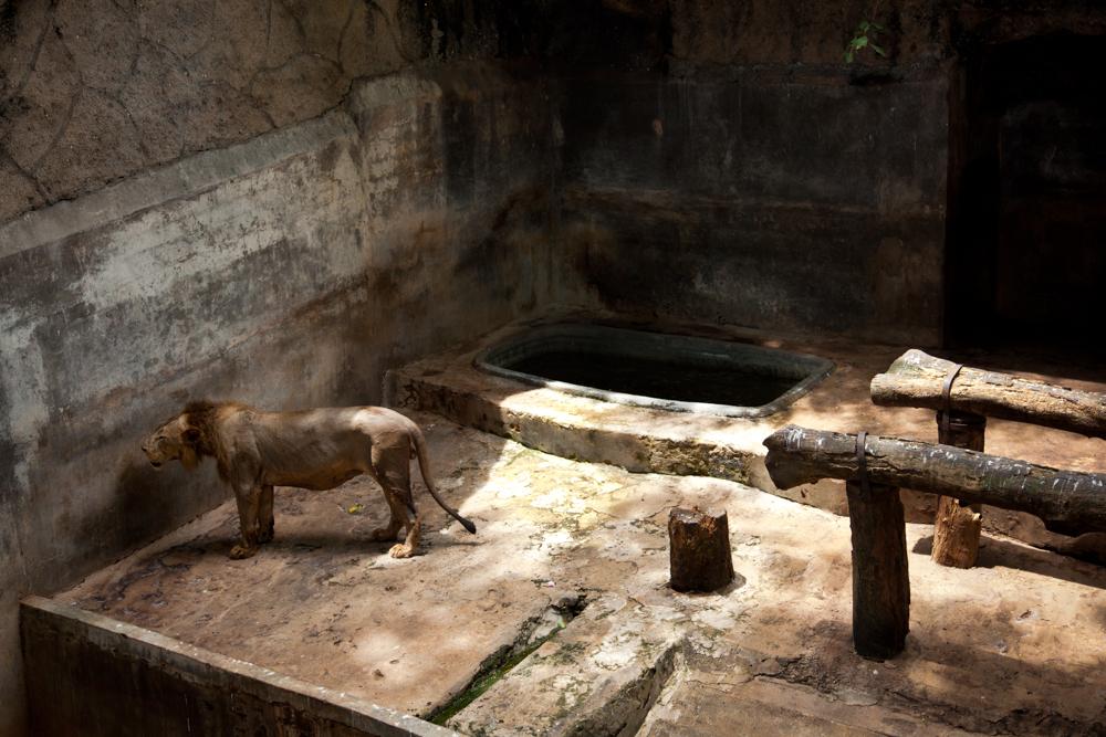 Captive - Lion