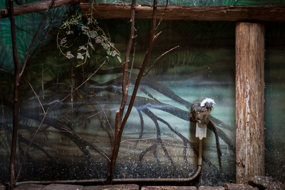 Captive - Cotton Top Tamarin