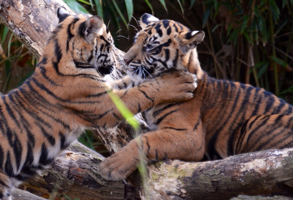 Sumatran Tiger Cubs by John Sonderman