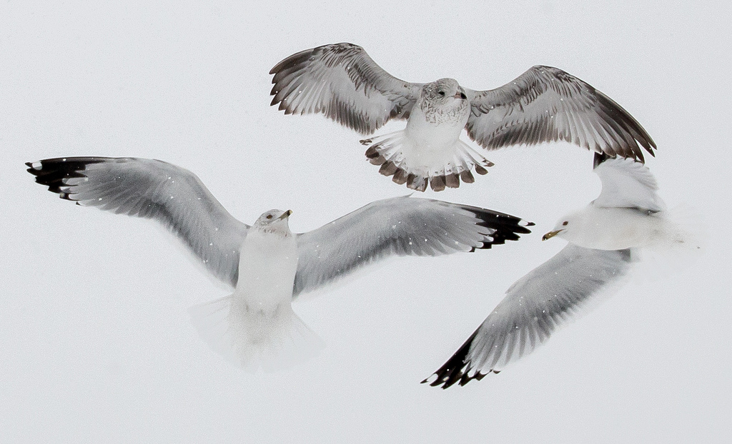Seagulls by Victoria Pickering