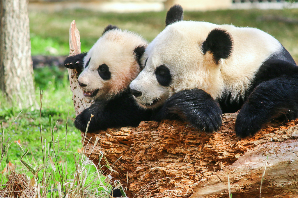 Bao Bao and Mei Xiang, cuddling.