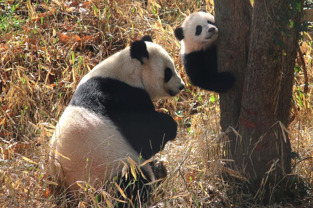 Bao Bao climbs up