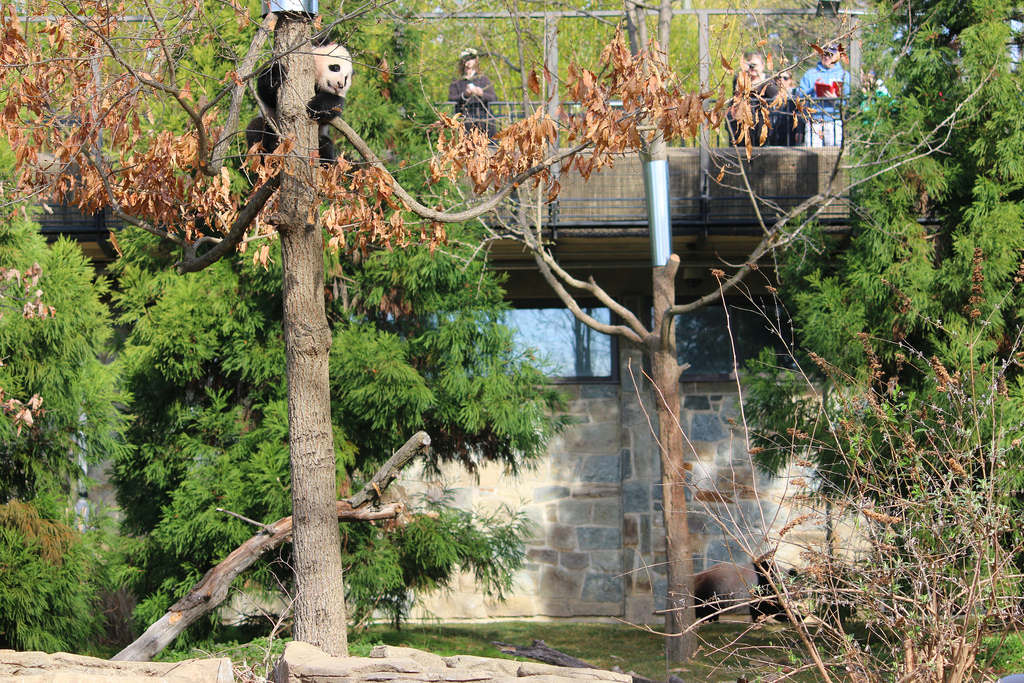 Mei Xiang leaves Bao Bao in the tree.