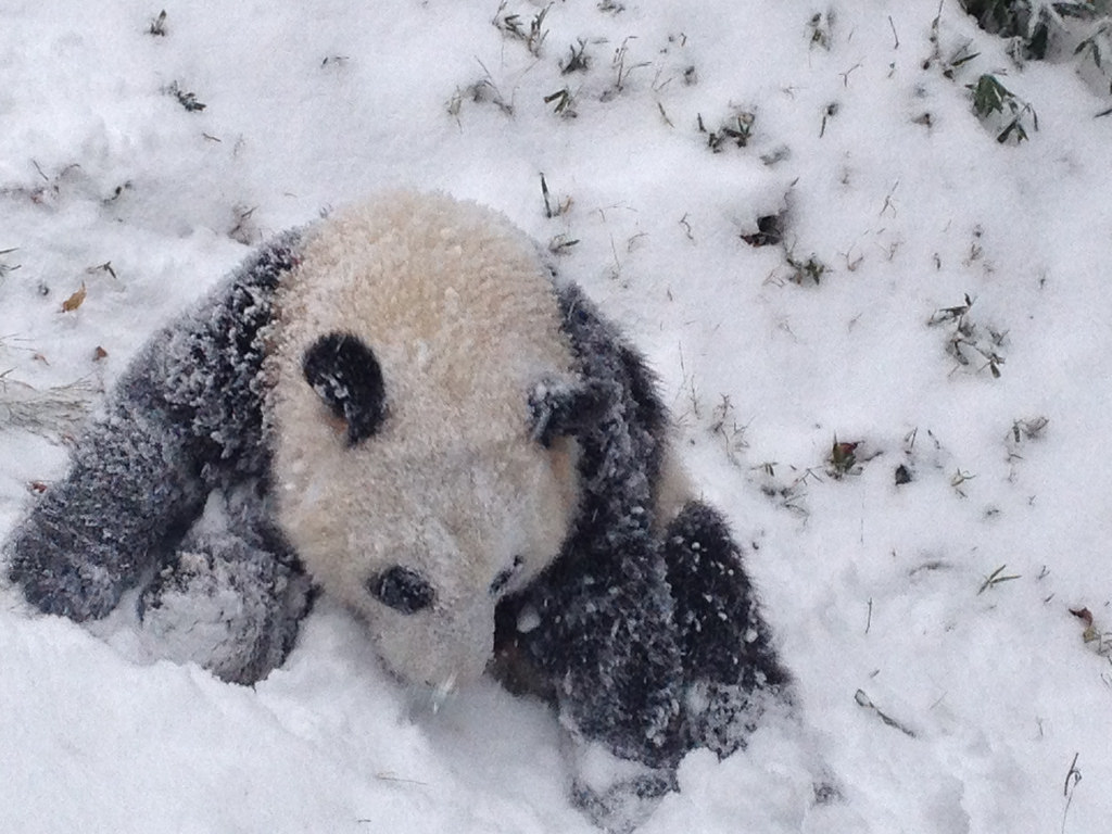 Bao Bao's First Snow Day by Devin Murphy/Smithsonian's National Zoo