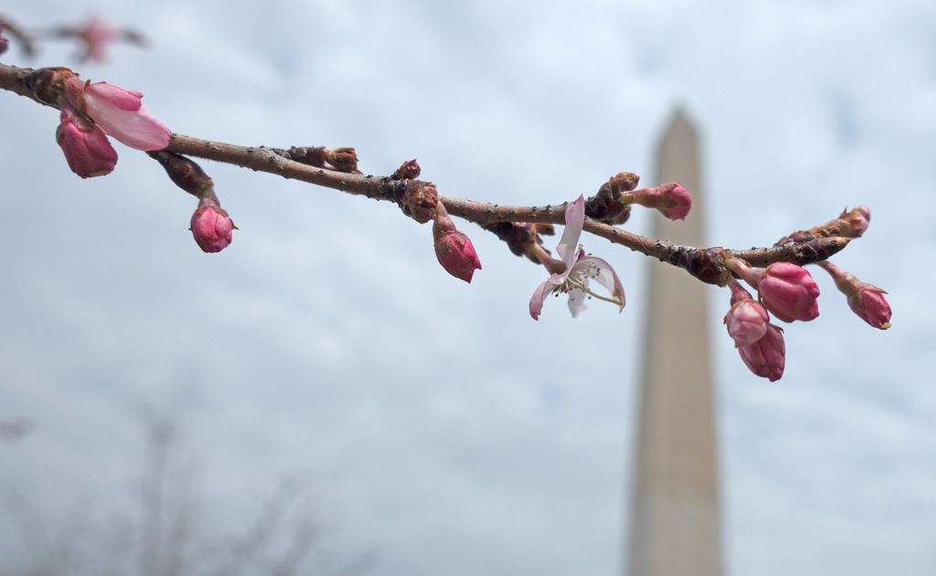 Early Bloomers at the Washington Monument on 3/24/2015 by John Sonderman