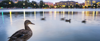 Ducks by Angela Pan