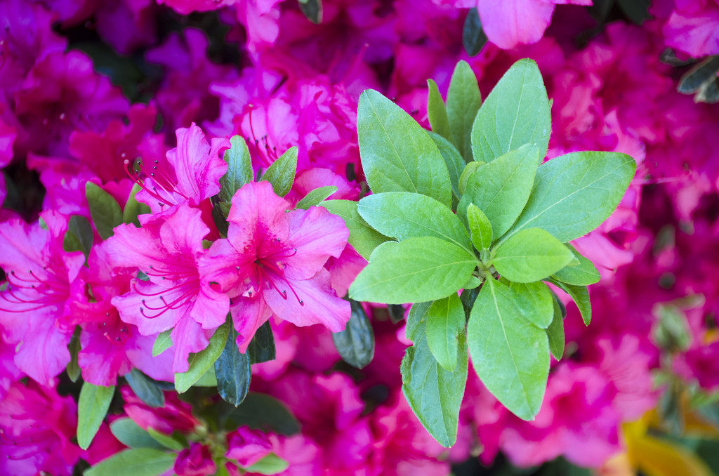 Green azalea by Tim Brown
